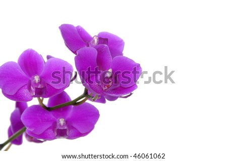 Branch of violet orchid