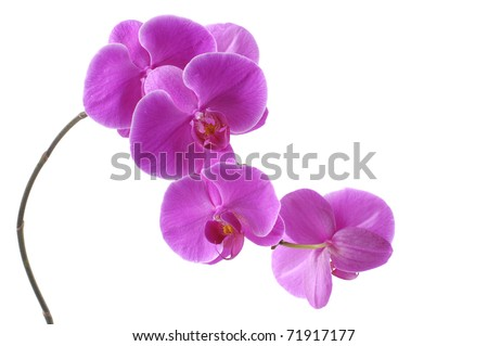 Branch of violet orchid isolated - stock photo