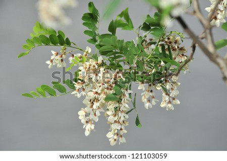 Branch of white acacia flowers on gray background