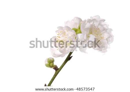 Branch of white cherry blossom in the spring time - stock photo