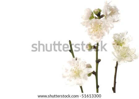 Branch of white cherry blossom with copy space - stock photo