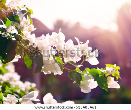 branch of white flowers bougainvillea in the Park