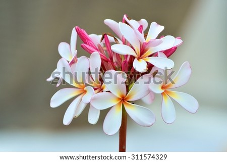 Branch of White Frangipani Flower or Plumeria on tree - stock photo