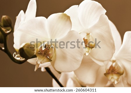 branch of white orchid macro on a dark background (toning) - stock photo