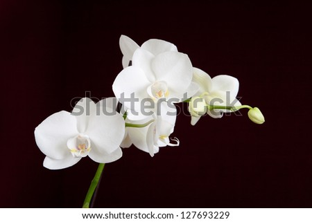 Branch of white orchid on the black background