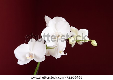 Branch of white orchid on the dark background