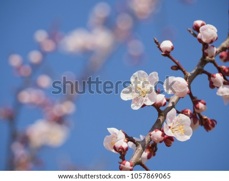 Branch white plum flower blooming spring stock photo 1057869065 branch of white plum flower blooming in spring garden morning and blue sky horizontal background mightylinksfo Choice Image