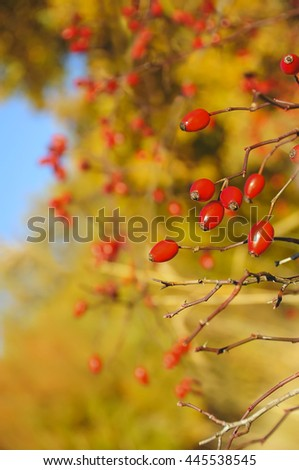 branch of wild rose bush with ripe red fruits. warm autumn beautiful sunny day, natural autumn background  - stock photo