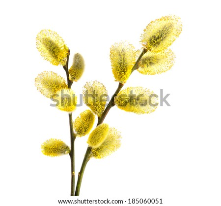 Branch of willow with yellow kidneys on a white background - stock photo