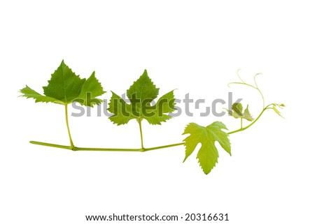 branch of wine leafs - stock photo