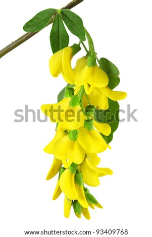 branch of yellow acacia, isolated on white background - stock photo