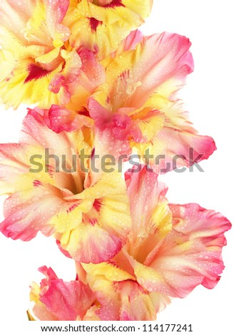 branch of yellow-pink gladiolus on white background close-up - stock photo