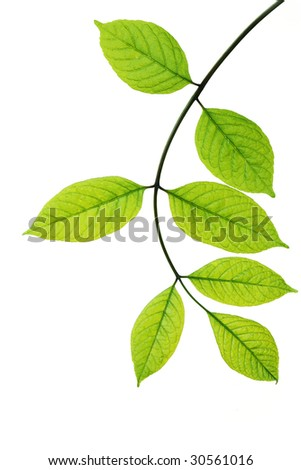 Branch of young leaves isolated on white