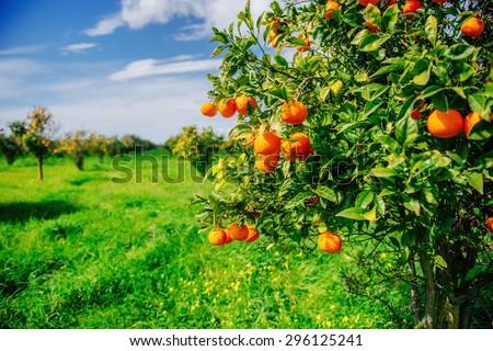 branch orange tree. - stock photo