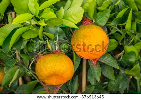 Branch orange tree fruits green leaves