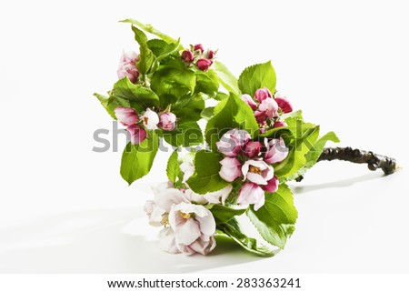 Branch pipfruit tree - stock photo