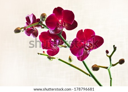 Branch Red Moth Orchid or Phalaenopsis flowers with out of focus fabric background - stock photo