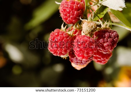 Branch red raspberries ripening with green leaves in garden - stock photo