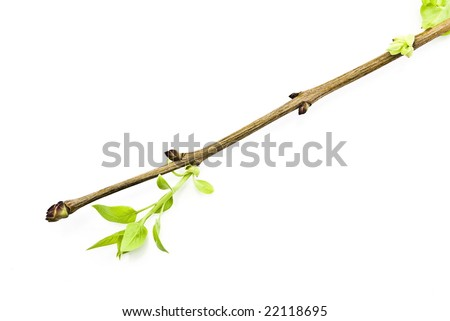 branch tree with spring bud - stock photo