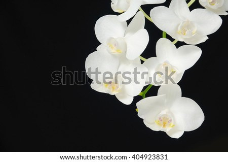 Branch white orchid in a black background