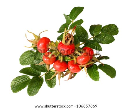 Branch with a cluster of ripe berries of a dogrose isolated on a white background