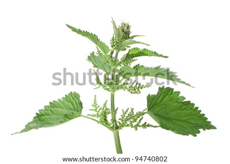 Branch with a few green leafs of nettle isolated on white background. Close-up. Studio photography. - stock photo
