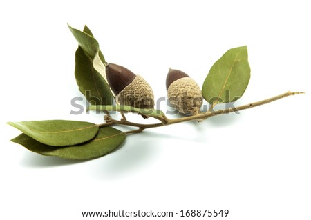 branch with acorns on a white background - stock photo