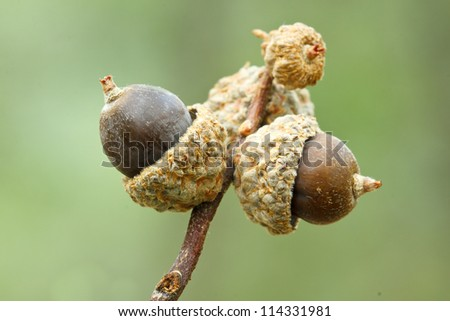 branch with acorns on natural green background - stock photo