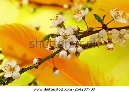 Branch with Apple white flowers on a yellow and orange bird feather background, macro, close up - stock photo