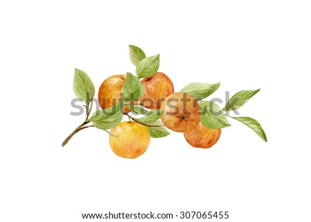 Branch with apples and leaves on a white background. Hand drawn watercolor illustration - stock photo