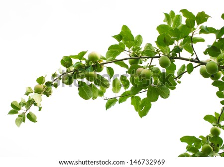 branch with apples on a white background - stock photo