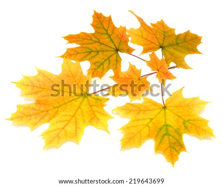 Branch with autumn maple leaf isolated on white background