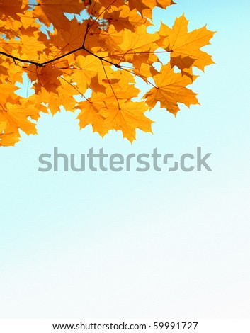 branch with autumn mapple yellow leaves and copyspase