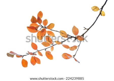 Branch with autumn multicolored leaves isolated on white  - stock photo