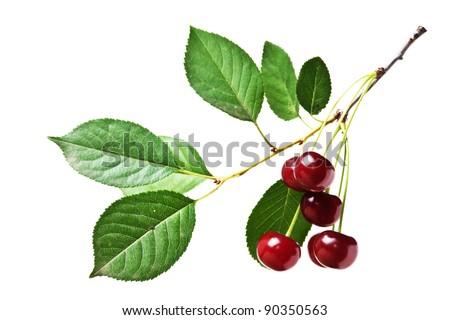 branch with berries cherry  isolated on white background - stock photo