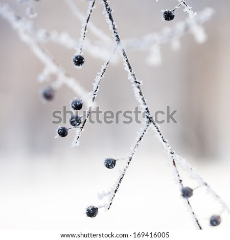 Branch with berries full of hoarfrost  on natural background