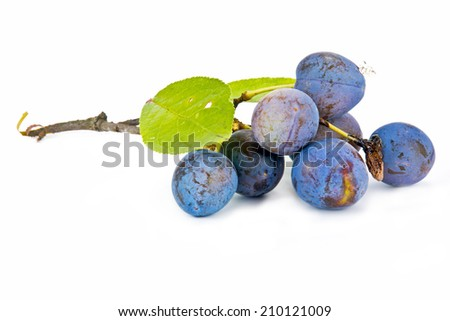 Branch with berries of sloe it is isolated on a white background - stock photo