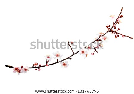 Branch with blossoms. Isolated on white background - stock photo