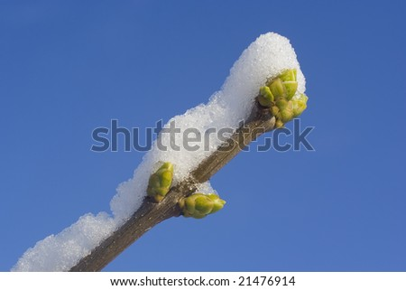 branch with bud under snow and blue sky - stock photo