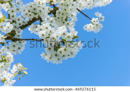 Branch with cherry blossoms against a blue sky / Cherry / cherry wood