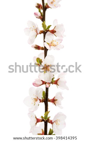 branch with cherry flowers on a white background