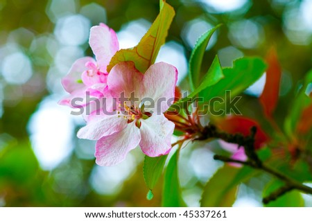 branch with cherry flowers over green background