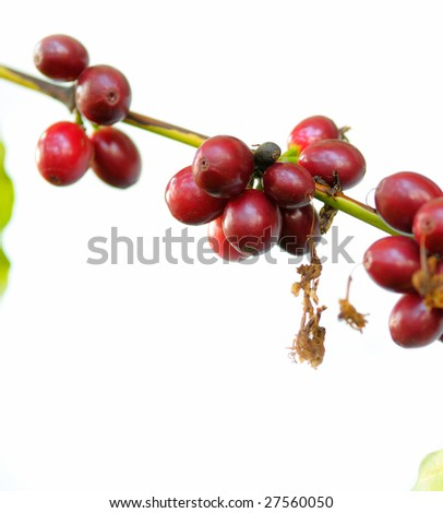 Branch with coffee fruits on a white background. - stock photo