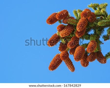Branch with cones. Larix leptolepis pine tree - stock photo