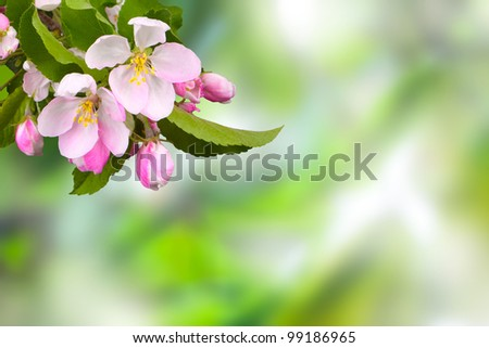 branch with flowers against a background of apple trees in spring foliage in blur - stock photo