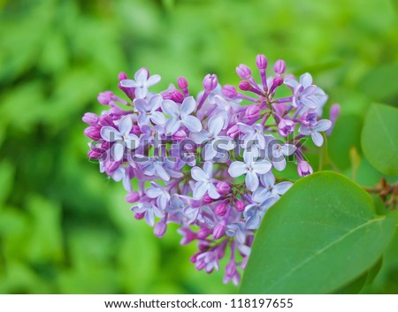 Branch with flowers and lilac leaves. Syringa vulgaris. Shallow depth of field. - stock photo