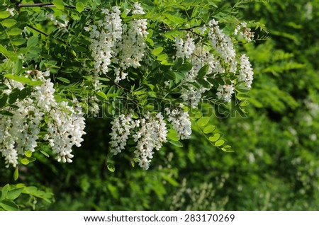 Branch with flowers of acacia. - stock photo