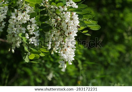 Branch with flowers of acacia. Bee collecting nectar from acacia flowers. - stock photo