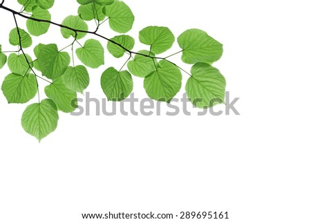 Branch with fresh green leaves - isolated on white background  - stock photo