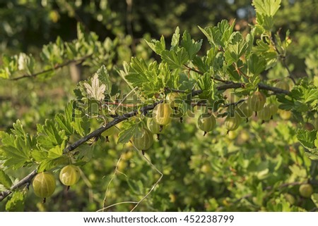 Branch with gooseberry berries in the orchard - stock photo